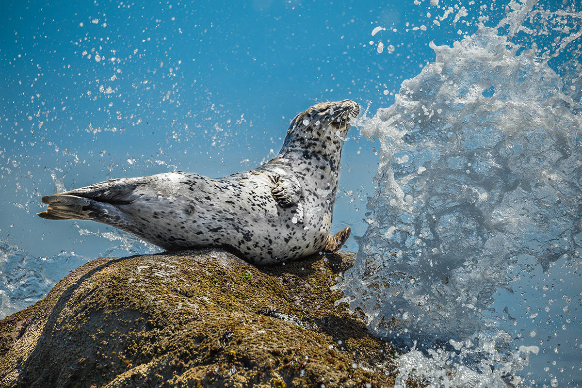 """Last year's winner, """"Air Guitar Seal,"""" was taken by Mike Walsh. Photo courtesy of BC SPCA"""